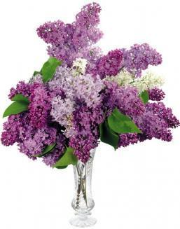 Bouquet of 25 violet lilac | Delivery and order flowers in Kostanay